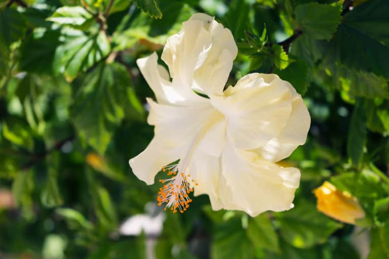 How To Grow & Care For Hibiscus Flowers