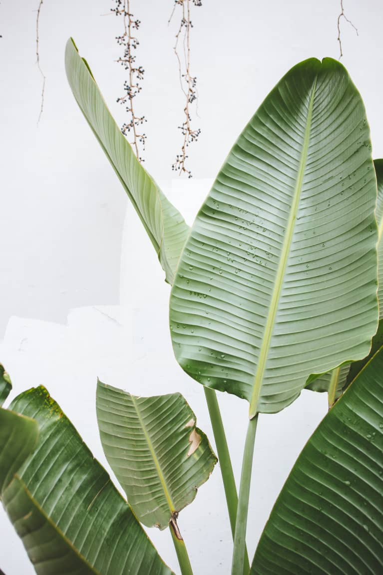 Could The Future Of Sustainable Packaging Be ... Banana Leaves?