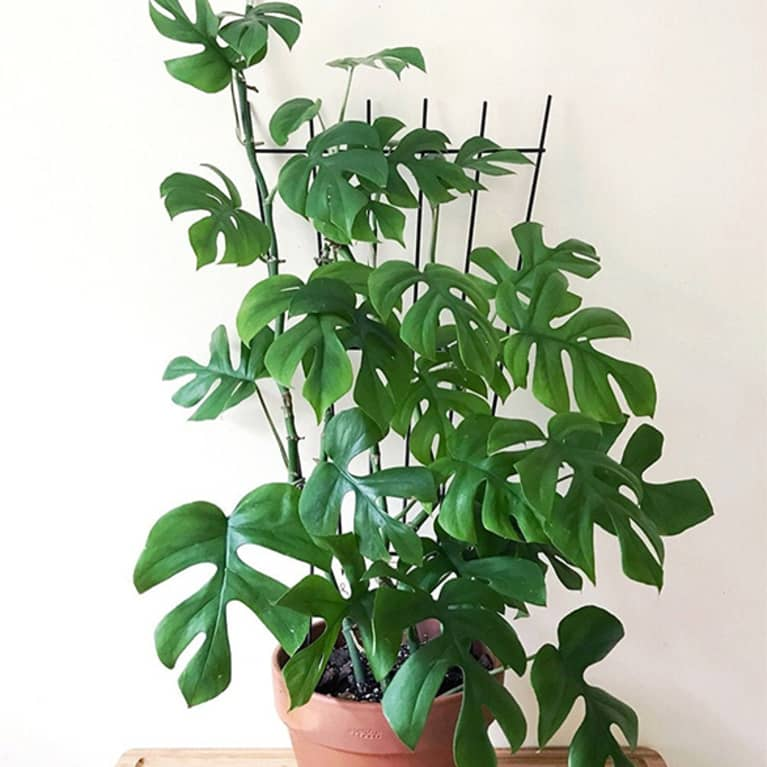mini monstera plant climbing up stake against white wall