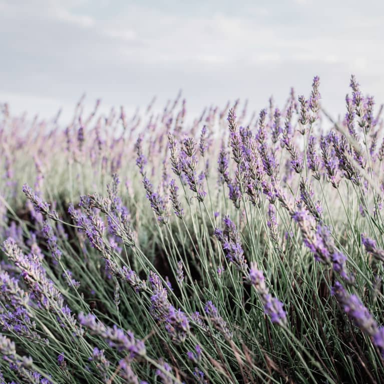 field of lavender plants blowing in the wind