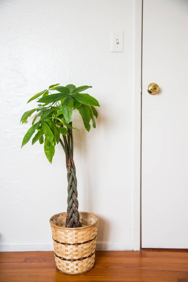 (Last Used: 1/28/21) Money Tree 101: Care Tips & How To Place The Plant For Prosperity