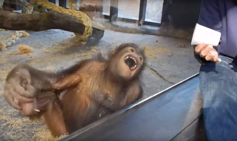 This Orangutan's Hilarious Reaction To A Magic Trick Will Make Your Day