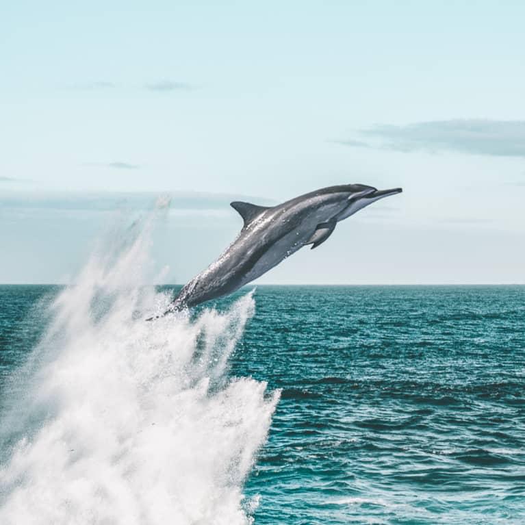 Dolphin Spirit Animal