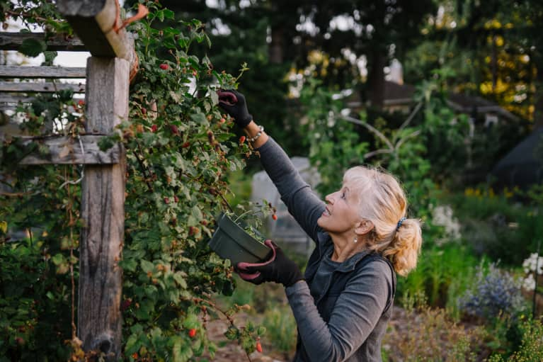 Healthy, Vibrant Mature Woman Picking Tayberries In The Garden