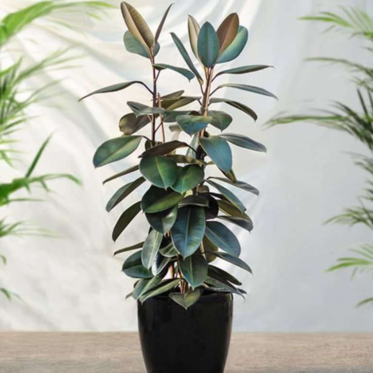 rubber plant positioned outdoors in front of white wall