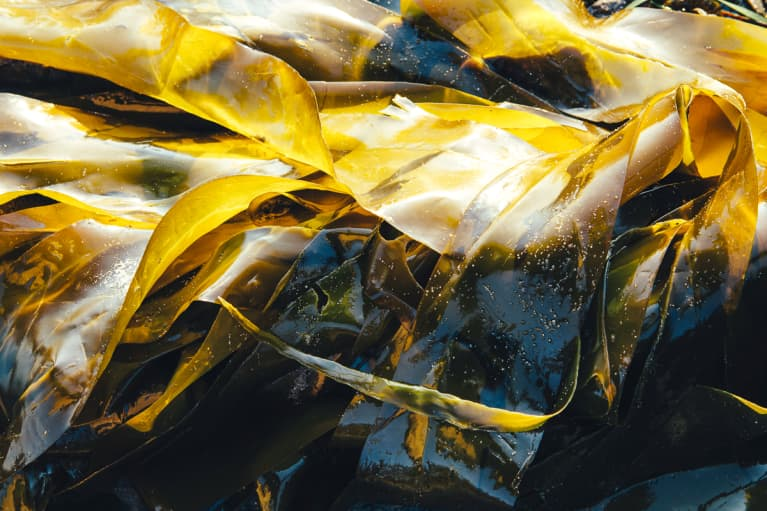 Bull kelp seaweed at low tide, close up