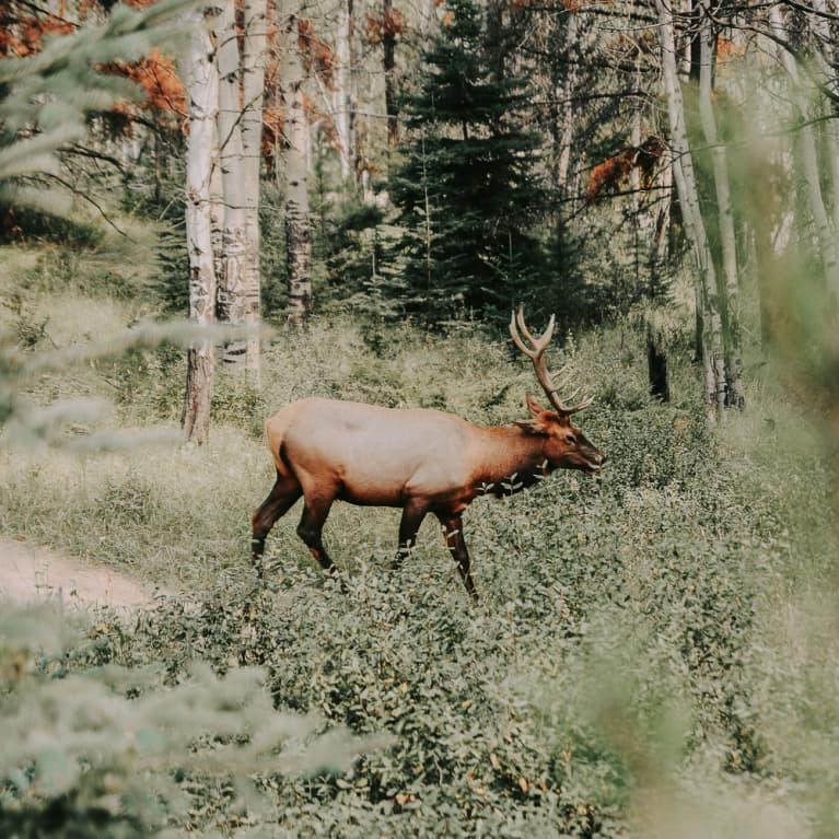 Deer Spirit Animal