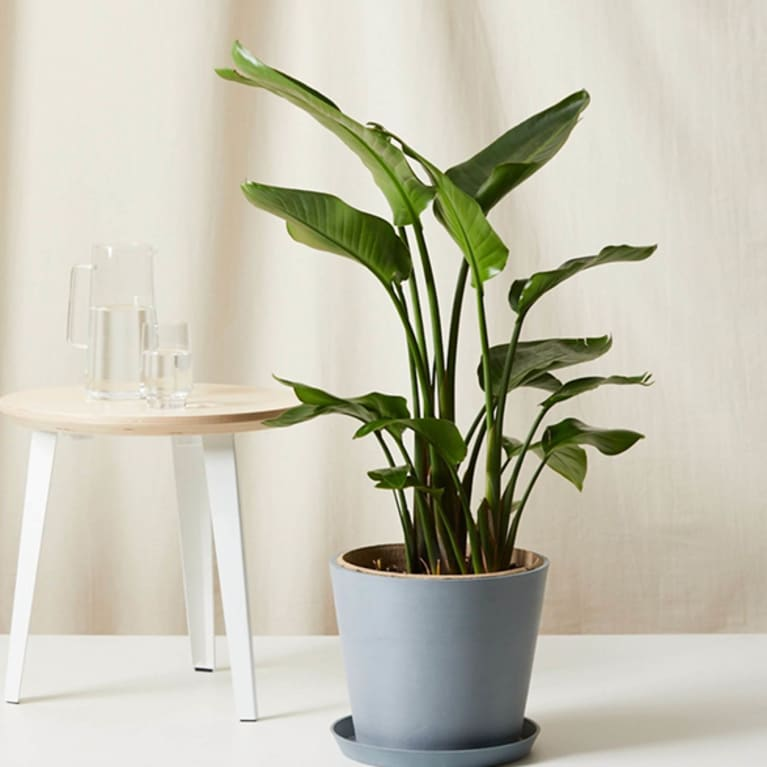 bird of paradise in grey container next to small table
