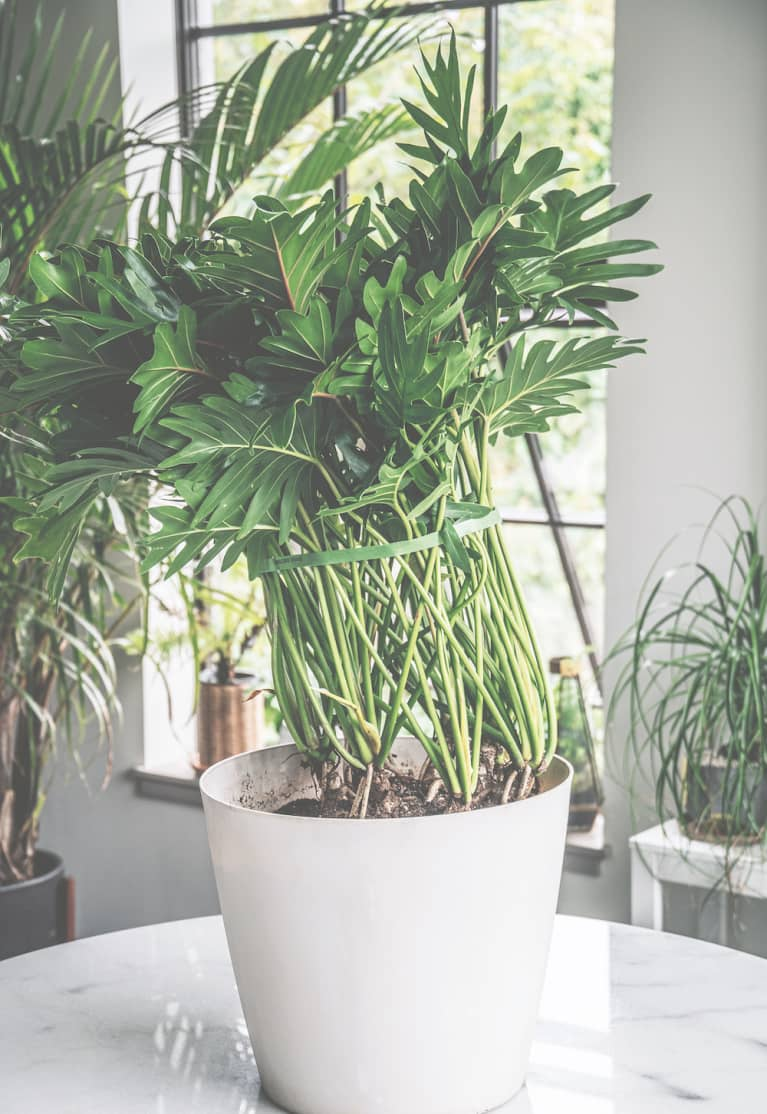 a houseplant that has its foliage tied together with a strip of velcro
