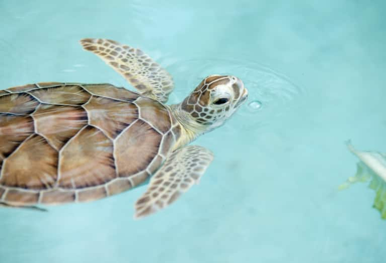 Sea Turtles Need Our Help. Here's An Easy Way Anyone Can Get Involved