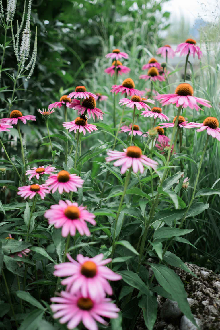 What Are The Actual Benefits Of Echinacea?