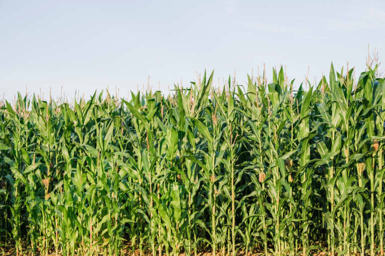 New Investigation Reveals Something Fascinating About GMO Crops