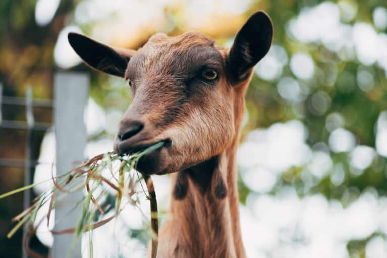 3 Reasons Goats Are Having A Moment In Wellness (It Has Nothing To Do With Goat Milk)