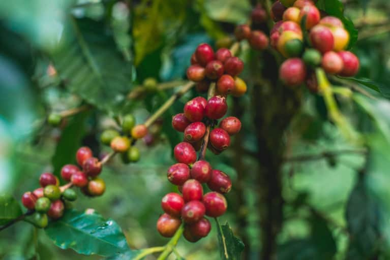 Wild coffee species endangered by habitat loss