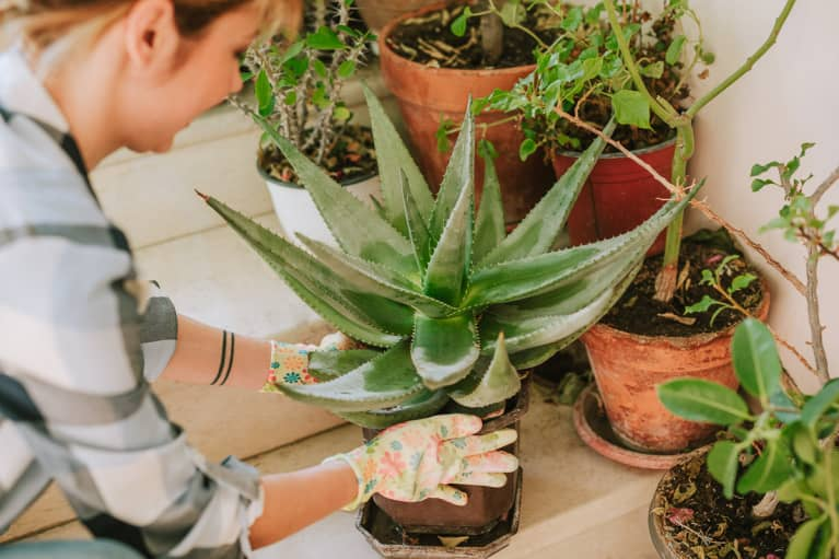 How To Propagate Your Aloe Plant For A Never-Ending Gel Supply