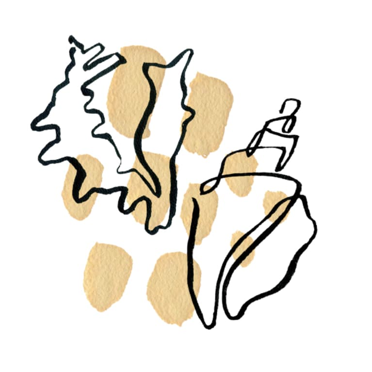 conch shell illustration