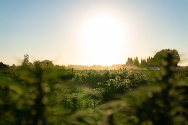 Do You Know Where Your CBD Comes From? Take A Look