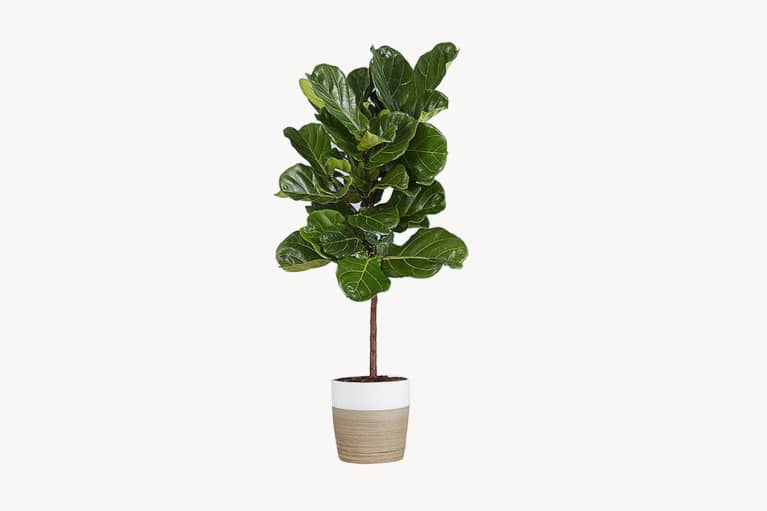 <p>Fiddle Leaf Fig Floor Plant</p>