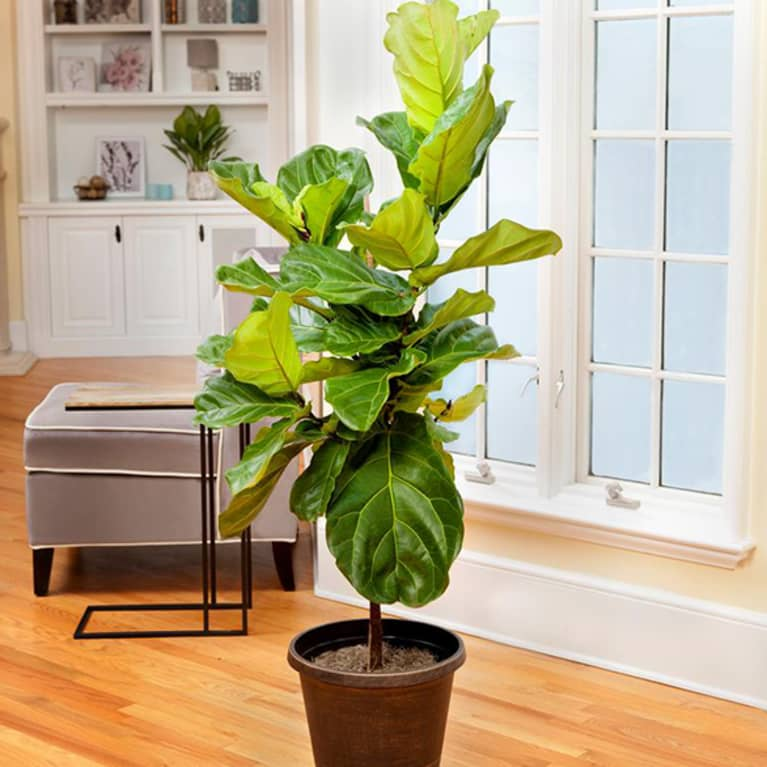 healthy fiddle leaf fig in front of living room window