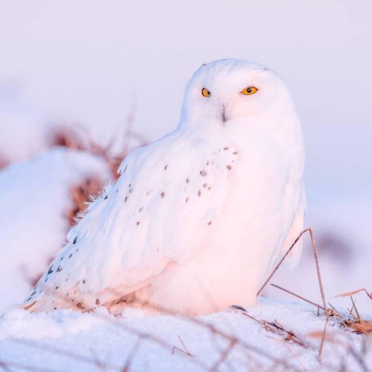 Snow Owl Spirit Animal