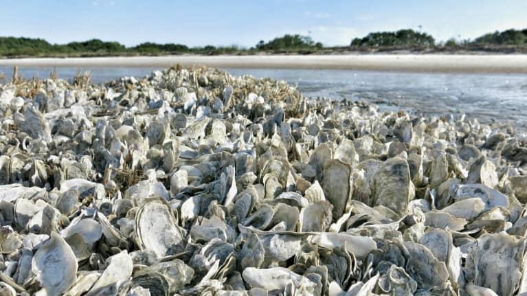原来,牡蛎是一个不太可能的盟友在对抗气候变化
